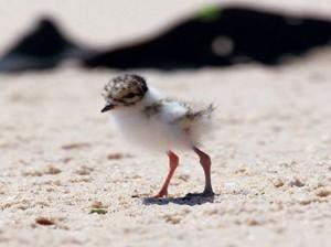 baby plover 1