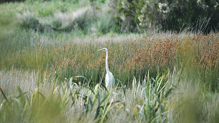 Keeping watch: A great egret in Tootgarook Swamp, one of 130 bird species recorded in the wetlands.