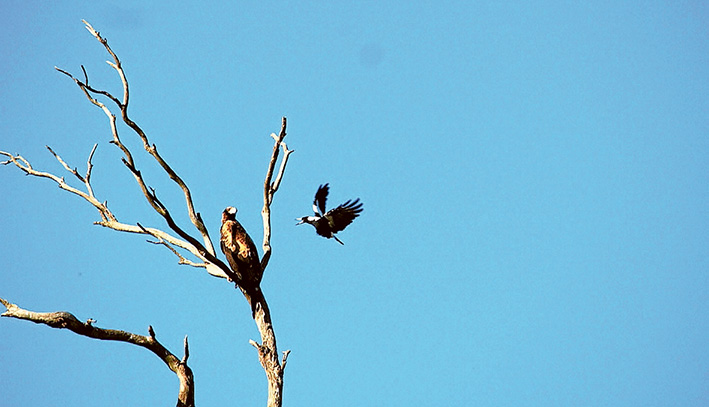 Air raid: A magpie resents the presence of a wedge-tailed eagle at The Briars Park, Mt Martha.