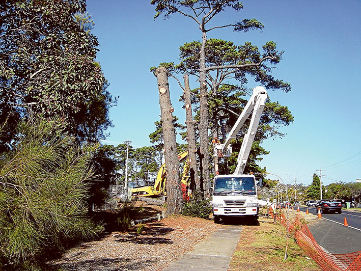 Old pines of youth: Workers of Mt Eliza-based tree removal contractor Laurie Brown gets stuck in to some of the 50-odd pines at CB Wilson Reserve.