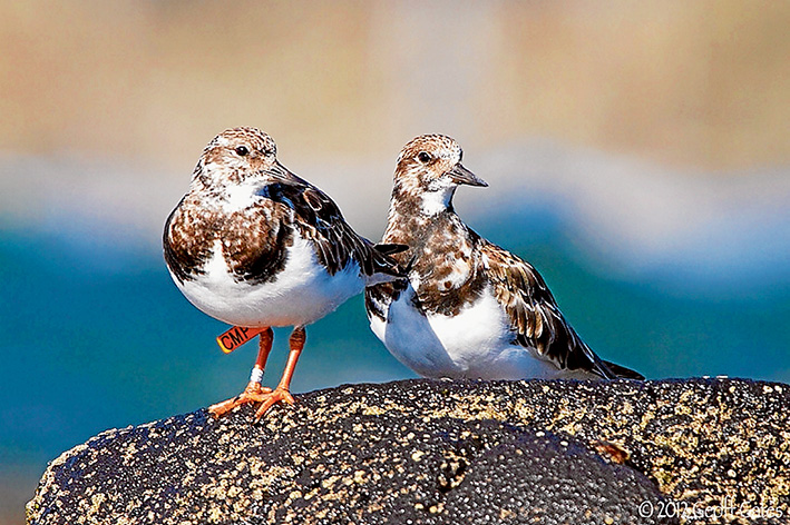 Bird watch: Coloured flags attached ruddy turnstones, above, have provided useful information about their global wanderings. Plans are now being made to for satellite-tracked transmitters grey plovers, right, to unwravel the mystery of their annual migration. Pictures: Geoff Gates and Ady Boyle (plovers)