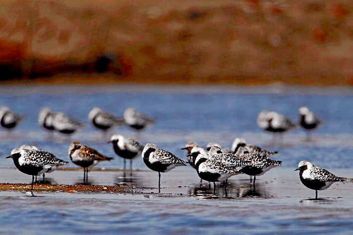Plans are now being made to for satellite-tracked transmitters grey plovers, to unravel the mystery of their annual migration.