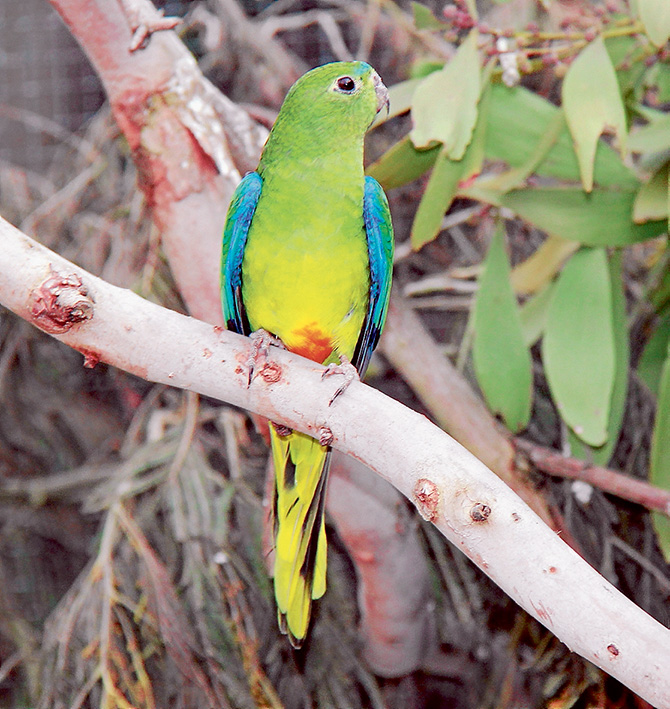 Rare bird: One of the orange-bellied parrots in the captive breeding program at Moonlit Sanctuary in Pearcedale. Picture: Yanni