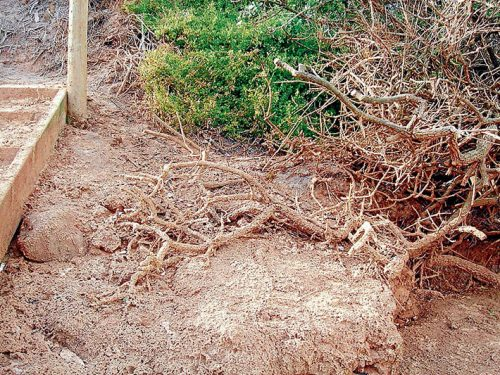 Dead veg: Dieback of common boobialla (native juniper) next to a bathing box on Moondah Beach after repeated foam events. Picture: Jeff Yugovic