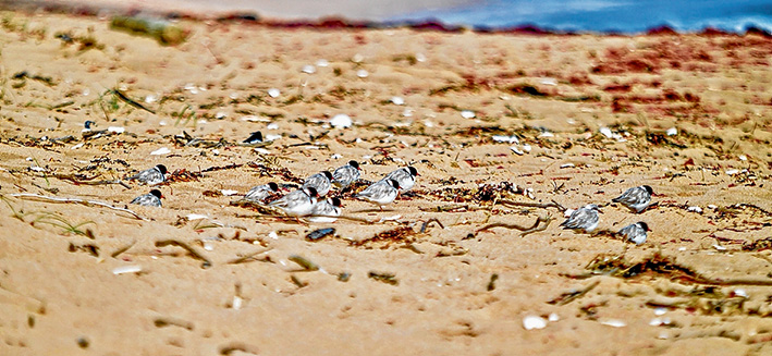 Some relief: Adult hooded plovers flock on St Andrews Beach. The federal government is promising $6.6 million to save threatened mammal, plant and bird species including the little birds that breed with limited success on peninsula beaches. Picture: Yanni