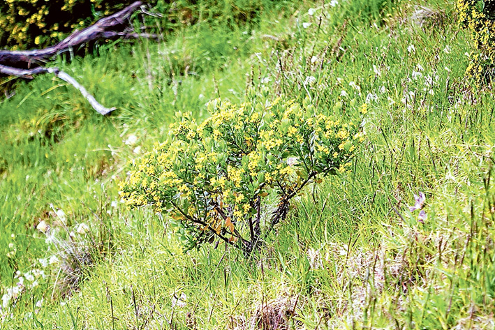 Pretty awful: The pest plant South African boneseed is flowering around the peninsula including on roadsides and in parks such as Arthurs Seat State Park. Picture: Yanni