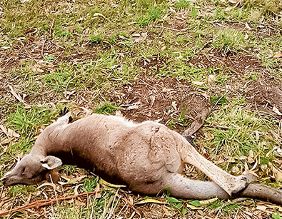 Road deaths: More than 70 kangaroos have been killed on peninsula roads this year and wildlife protector Craig Thomson blames roo-proof fences and clearing of habitat. Picture supplied