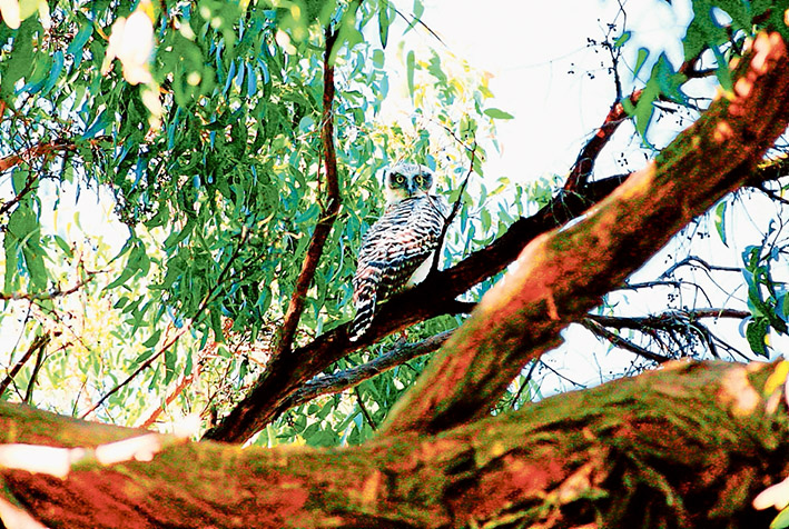 Giving a hoot: A survey is underway to keep track of where powerful owls live on the Mornington Peninsula so that their habitats can be protected.