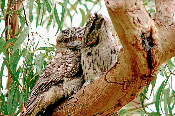 Roadside resting: A record will be made of all creatures within the Western Port Biosphere area for one week during October. These tawny frogmouths spend daylight hours in a tree overhanging a road. Picture: Keith Platt