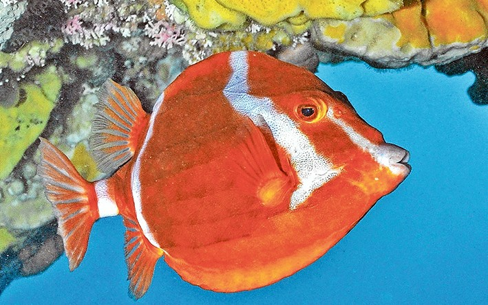 white barred boxfish