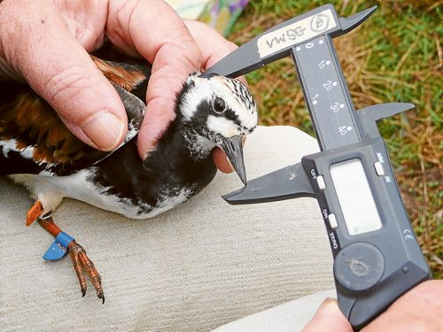 Tag time: Left, Members of the Victorian Wader Study Group preparing to carefully process birds netted at Flinders; above, a male ruddy turnstone has its bill measured (the blue tag indicates it was originally caught at King Is and probably called into Flinders on its way further south; and, below, a net being fired over birds roosting at Stockyard Point, Western Port. Pictures: Rob Patrick