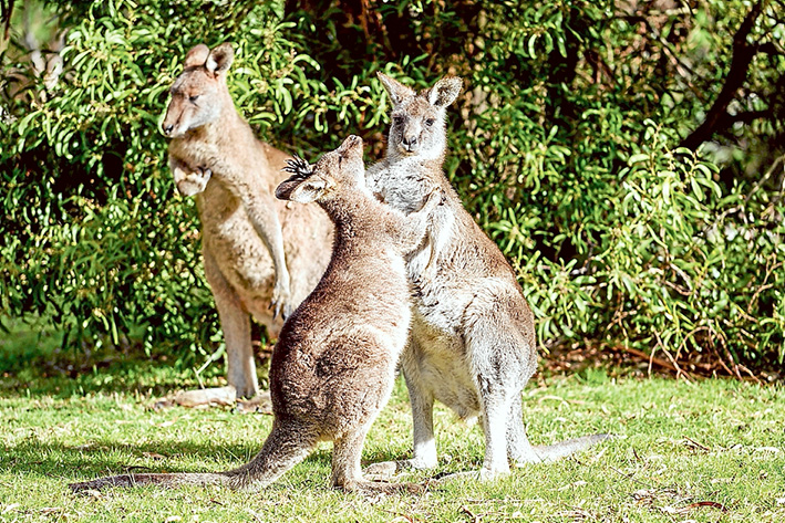 On the move: Buying land for wildlife corridors is seen as the answer to cut the high number of kangaroos and other native animals being hit on Mornington Peninsula roads. Picture: Yanni