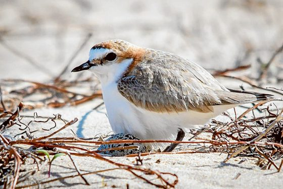 A sand castle built around a nesting red-capped plover at Shoreham. Pictures: Mark Lethlean