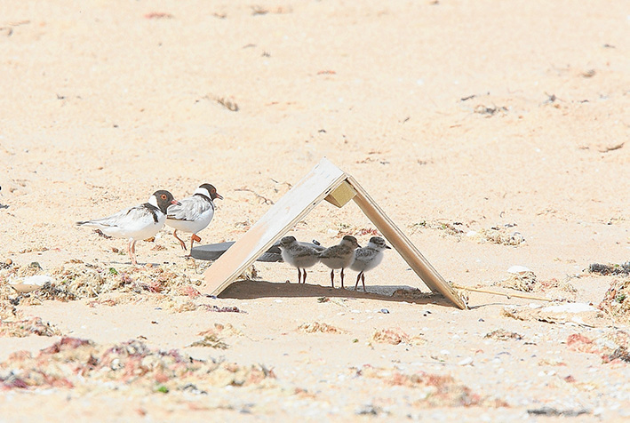 Beach protection: Wooden shelters help protect three vulnerable hooded plover chicks at Rye back beach while their parents stand guard outside. One of the chicks has since disappeared. Picture: Glenn Ehmke.
