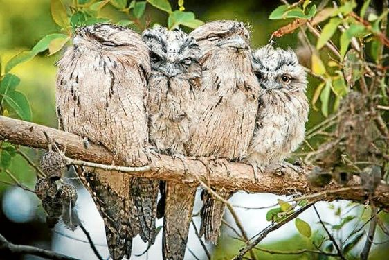 Tawny frogmouths are often seen perched as a group and during the day are easily approached.