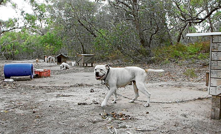 Chained up: Some of the estimated 40 dogs on a property at Blind Bight which are the subject of multiple charges by Casey Council. Picture: Supplied