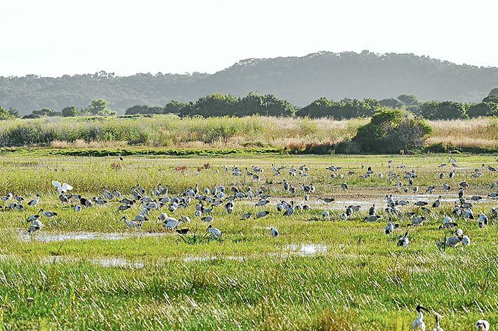 Bird land: Hundreds of native birds on a block of land in Tootgarook Swamp that was zoned for housing by the old Shire of Flinders. A developer's plan for 99 houses is being tested in the planning tribunal this week and next. Picture supplied