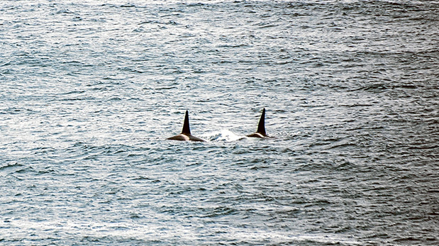 Univited visitors: Members of a pod of killer whales patrolling off Seal Rocks are known to regular whale watchers. Picture: Robyn Raven. Left, seals are wary of entering familiar while the killers are about. Picture: Keith Platt