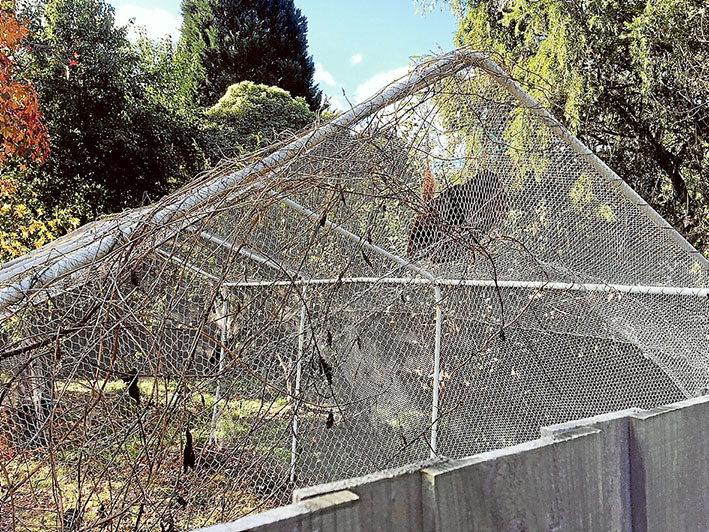 Bat trap: Protective nets can be a death trap for bats and birds and wildlife authorities recommend building a netted frame as a protective buffer for fruit trees.