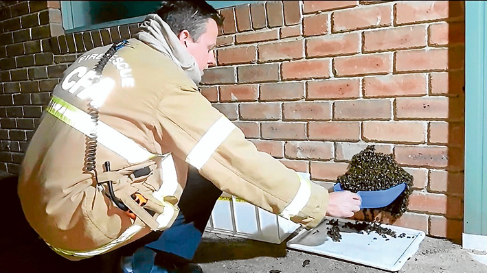 Bee-line: Steady hands as Simon Mildren prepares to relocate this Mt Martha hive.