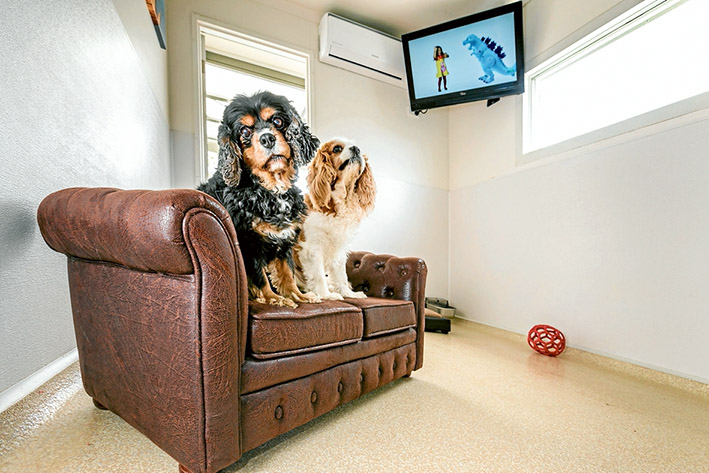 TV pawsed for thoughts: Cavalier King Charles spaniels Gemma, left, and Froddo enjoy relaxing at the Dog Country Club and Kennel Resort. Picture: Gary Sissons