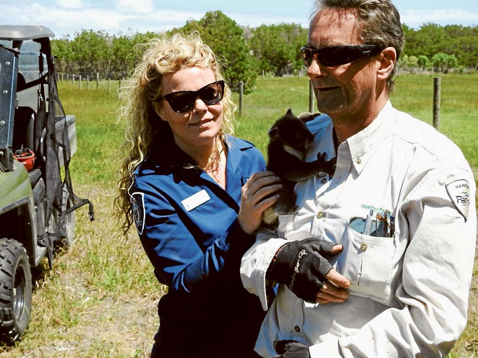 Homefinders: Scott Coutts, of parks Victoria and Abby Smith (DELWP) on French Island collecting koalas for transporting to Tallarook. Picture: Alan Webster