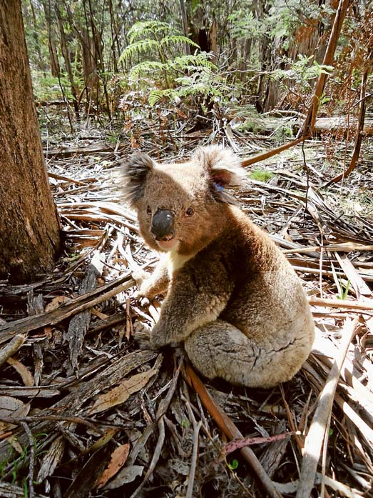 New lodgings: Koals from French Island are settling into a forest in central Victoria as part of a trial to see if translocation is part of the answer to saving the island from being overpopulated by the leaf eaters.